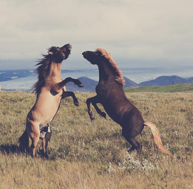Wild-horses-Iceland-trip-pics