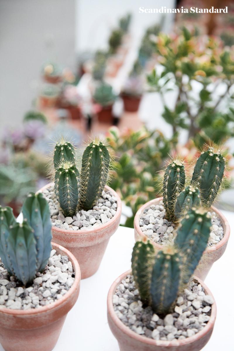 Kaktus Copenhagen - Cute Cacti - Jægersborggade | Scandinavia Standard