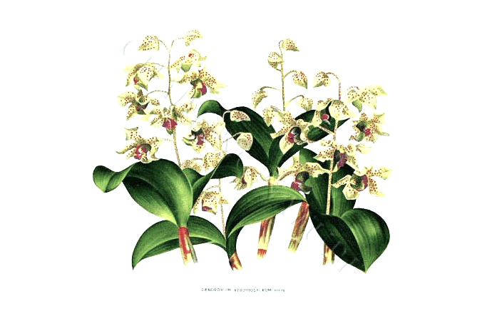 Orchids Botanical Drawing