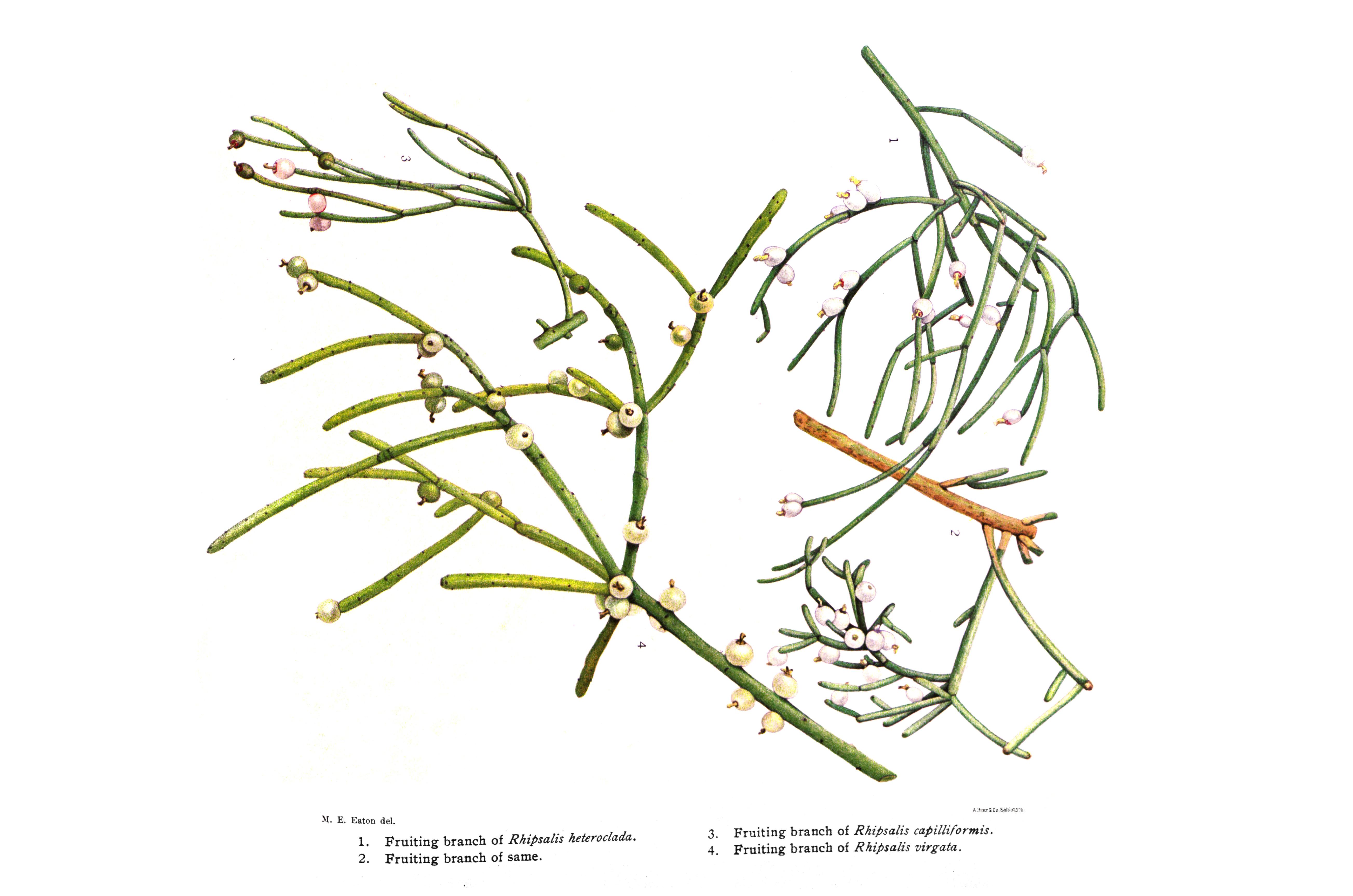 Rhipsalis Paradoxa (Chain Cactus)