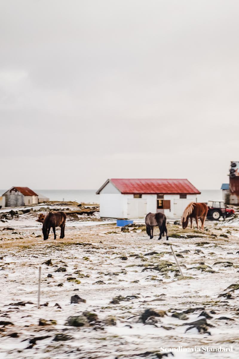 Icelandic Horses | Scandinavia Standard