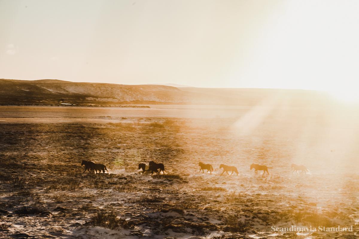 Wild Horses Iceland | Scandinavia Standard